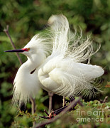 Breeding Posters - Snowy Egret Poster by Millard H. Sharp