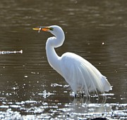 Snowy Egret Photos - Snowy Egret by Robert Smice