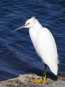 Egret Photo Prints - Snowy Egret Print by Zulfiya Stromberg