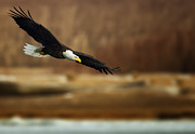 Eagle-eye Metal Prints - Soaring Bald Eagle Metal Print by Al  Mueller