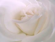 Close-up Portrait Posters - Softness of a White Rose Flower Poster by Jennie Marie Schell