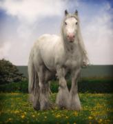 Gypsy Cob Framed Prints - Son of Lloyd Framed Print by Elizabeth Sescilla