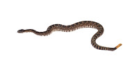 Southern Pacific Rattlesnake Print by John Bell