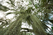 Epiphyte Framed Prints - Spanish Moss  Framed Print by Jim Pruitt