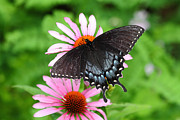 Spicebush Swallowtail Prints - Spicebush Swallowtail Butterfly Print by James Brunker