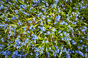 Early Posters - Spring blue flowers glory-of-the-snow Poster by Elena Elisseeva