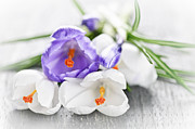 Blooming Photo Acrylic Prints - Spring crocus flowers Acrylic Print by Elena Elisseeva