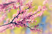 Tree Blossoms Prints - Spring Print by Elizabeth Budd