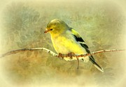 Susan Schwarting - Spring Goldfinch