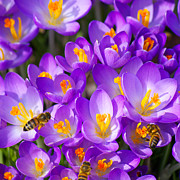 Crocus Photos - Springtime by Angela Doelling AD DESIGN Photo and PhotoArt