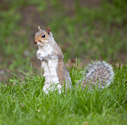 Stood Framed Prints - Squirrel Framed Print by Andrew Gaylor