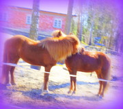 Temperament Photo Prints - Stable Love Print by Hilde Widerberg