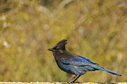Featured On Fineart America - Stellers Jay by Sean Griffin