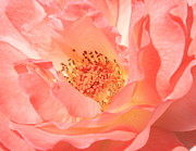 Rose Closeup Posters - Stockton Rose Poster by Carol Groenen