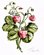 Vegetarian Drawings Framed Prints - Strawberries Framed Print by Danuta Bennett