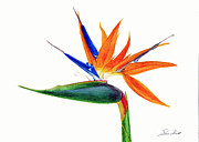 Strelitzia Painting Framed Prints - Strelitzia reginae Framed Print by Sue Sill