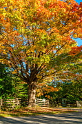 Fall Color Print Framed Prints - Sugar Maple Framed Print by Steve Harrington