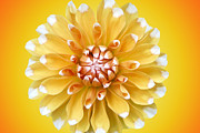Summer Digital Art - Summer Dahlia by Marc Huebner