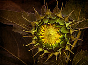 Seeds Digital Art Posters - Sunflower Poster by Elena Nosyreva