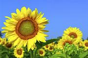 Sunflower Field Print by Elena Elisseeva