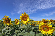Jim Nelson - Sunflower Field