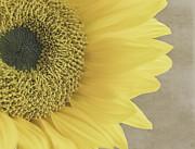 Kim Hojnacki - Sunflower