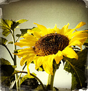 Yellow Sky Prints - Sunflower Print by Les Cunliffe