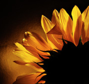 Addie Hocynec Art Prints - Sunflower macro Print by Addie Hocynec