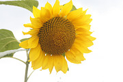 Yellow Leaves Metal Prints - Sunflower Salutation  Metal Print by Georgia Fowler