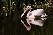 Nick  Biemans - Swimming Pink Pelican