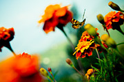 Autumn Pyrography Prints - Tagetes and Buterfly fly away  Print by Raimond Klavins