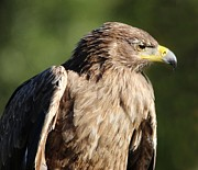 Thomas Photography  Thomas - Tawny Eagle