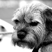 Dog Prints Photos - Teddy by Sharon Lisa Clarke