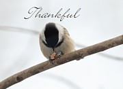 Chickadee Greeting Cards Framed Prints - Thankful Framed Print by Cheryl Baxter