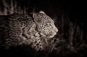 Leopard Hunting Prints - The Catwalk  Print by Giulio Zanni