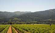 Grape Vines Photos - The Napa Valley by Clay Townsend