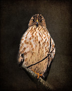 Hawk Art Prints - The Observer Print by Jai Johnson
