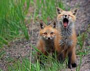 Fox Kits Framed Prints - The Platitudinous Photographer Framed Print by Jim Garrison