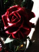 Leslie Hunziker - The Rose