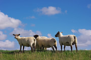 Sheep Posters - The Sheep Poster by Angela Doelling AD DESIGN Photo and PhotoArt