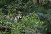 Wolves Photos - The Wolf by Ernie Echols