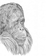 Orangutan Drawings - Thoughtful by Denise Wood