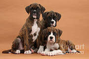 Three Boxer Puppies Print by Mark Taylor