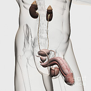 Genitourinary System Prints - Three Dimensional Medical Illustration Print by Stocktrek Images