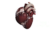 Heart Healthy Digital Art Posters - Three Dimensional View Of Human Heart Poster by Stocktrek Images