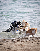 Canine Photos - Three dogs playing on beach by Elena Elisseeva