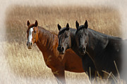 Pastures Framed Prints - Three Horses Framed Print by Ernie Echols