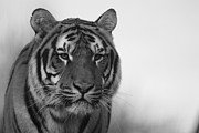 Canvas  Black And White Cat Photos - Tiger by Selena Chambers