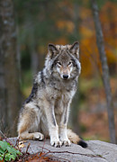 Timber Wolf Print by Jim Cumming