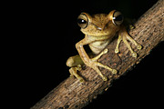 Nocturnal Animal Prints - Tree Frog Print by Dirk Ercken